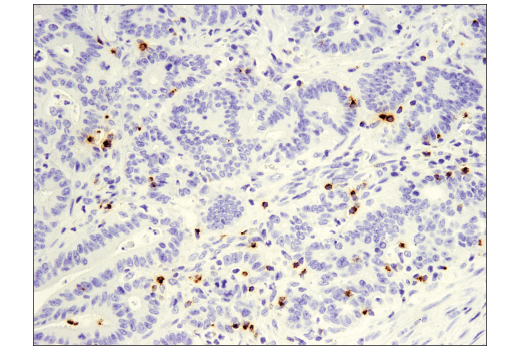 Image 11: Mouse Immune Cell Phenotyping IHC Antibody Sampler Kit
