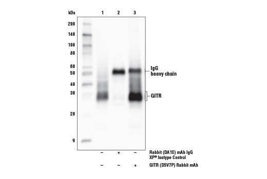 Immunoprecipitation of GITR protein from HuT 102 cell extracts. Lane 1 is 10% input, lane 2 is Rabbit (DA1E) mAb IgG XP<sup>® </sup>Isotype Control #3900, and lane 3 is GITR (D5V7P) Rabbit mAb. Western blot analysis was performed using GITR (D5V7P) Rabbit mAb.