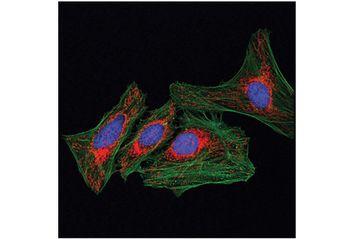 Confocal immunofluorescent analysis of HeLa cells using MFF (E5W4M) XP<sup>®</sup> Rabbit mAb (Alexa Fluor<sup>®</sup> 594 Conjugate) (red) and β-Actin (8H10D10) Mouse mAb #3700 (green). Blue pseudocolor = DRAQ5<sup>®</sup> #4084 (fluorescent DNA dye).