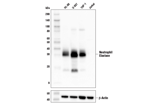 Western blot analysis of extracts from various cell lines using Neutrophil Elastase Antibody (upper) and β-Actin (D6A8) Rabbit mAb #8457 (lower). As expected, neutrophil elastase protein is not detected in Jurkat cells.