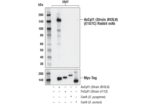 Cas9 and Associated Proteins Antibody Sampler Kit, UniProt ID A0Q7Q2, Entrez ID 901176 #73211 - #73211