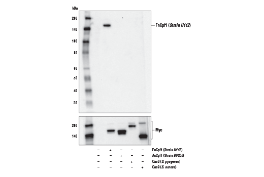 Image 13: Cas9 and Associated Proteins Antibody Sampler Kit