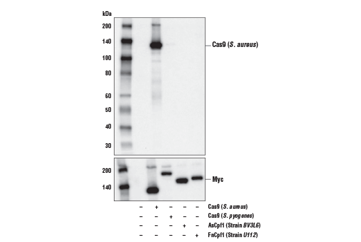Western blot analysis of extracts from 293T cells, mock transfected (-) or transfected with a construct expressing Cas9 (<i>S. aureus</i>), Cas9 (<i>S. pyogenes</i>), AsCpf1 (Strain <i>BV3L6</i>), or FnCpf1 (Strain <i>U112</i>) (+), using Cas9 (<i>S. aureus</i>) (E4G3U) Rabbit mAb (upper) and Myc-Tag (71D10) Rabbit mAb #2278 (lower).