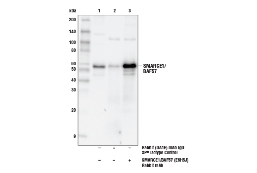 Immunoprecipiation of SMARCE1/BAF57 from MCF7 cell extracts. Lane 1 is 10% input, lane 2 is Rabbit (DA1E) mAb IgG XP<sup>®</sup> Isotype Control #3900, and lane 3 is SMARCE1/BAF57 (E6H5J) Rabbit mAb. Western blot analysis was performed using SMARCE1/BAF57 (E6H5J) Rabbit mAb.