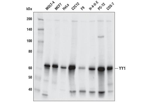 Monoclonal Antibody Flow Cytometry YY1