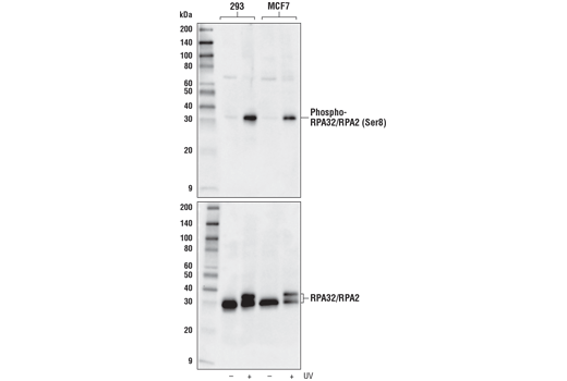 Western blot analysis of 293 and MCF7 cells, untreated (-) or treated with UV (100 mJ, 4 hr [293] or 6 hr [MCF7] recovery, +), using Phospho-RPA32/RPA2 (Ser8) Antibody (upper) or RPA32/RPA2 (4E4) Rat mAb #2208 (lower).