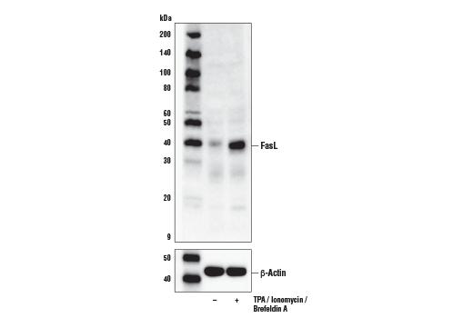 Monoclonal Antibody Cellular Chloride Ion Homeostasis