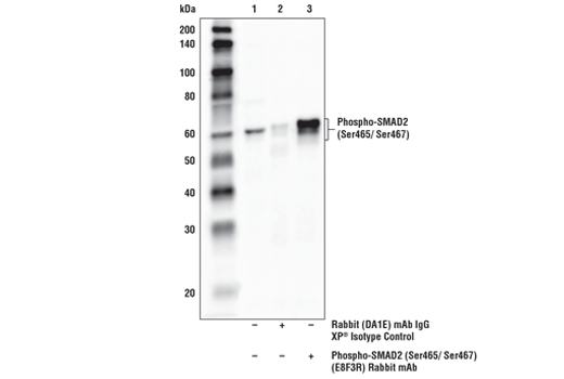 Immunoprecipitation of phospho-SMAD2 (Ser465/Ser467) from extracts of HaCaT cells treated with Human Transforming Growth Factor β1 (hTGF-β1)#8915 (10nM, 30mins). Lane 1 is 10% input, lane 2 is Rabbit (DA1E) mAb IgG XP<sup>®</sup> Isotype Control #3900, and lane 3 is Phospho-SMAD2 (Ser465/Ser467) (E8F3R) Rabbit mAb. Western blot analysis was performed using P-SMAD2 (Ser465/ Ser467) (E8F3R) Rabbit mAb. Mouse Anti-rabbit IgG (Conformation Specific) (L27A9) mAb (HRP Conjugate) #5127 was used for detection to avoid cross-reactivity with IgG.