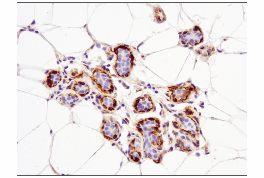 Immunohistochemical analysis of paraffin-embedded normal human breast using Nestin (10C2) Mouse mAb.