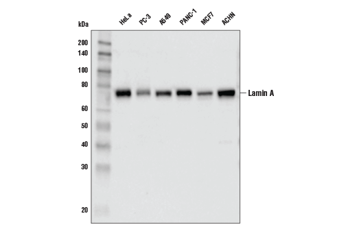 Western blot analysis of extracts from various cell lines using Lamin A (133A2) Mouse mAb.