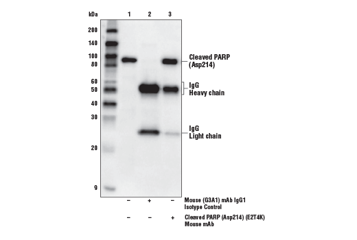 Immunoprecipitation of cleaved PARP (Asp214) from serum-starved HeLa cells treated with Staurosporine #9953 (1 μM, 3 hr). Lane 1 is 10% input, lane 2 is Mouse (G3A1) mAb IgG1 Isotype Control #5415, and lane 3 is Cleaved PARP (Asp214) (E2T4K) Mouse mAb. Western blot was performed using Cleaved PARP (Asp214) (E2T4K) Mouse mAb. Anti-mouse IgG, HRP-linked Antibody #7076 was used as a secondary antibody.