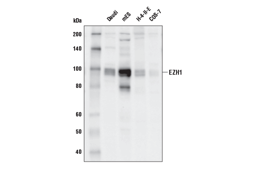 Western blot analysis of extracts from various cell lines using EZH1 (D6F1C) Rabbit mAb.