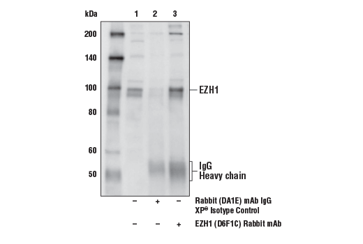 Immunoprecipitation of EZH1 from Daudi cell extracts. Lane 1 is 10% input, lane 2 is Rabbit (DA1E) mAb IgG XP<sup>®</sup> Isotype Control #3900, and lane 3 is EZH1 (D6F1C) Rabbit mAb. Western blot analysis was performed using EZH1 (D6F1C) Rabbit mAb.