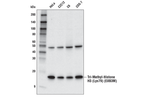 Image 10: Methyl-Histone H3 (Lys79) Antibody Sampler Kit