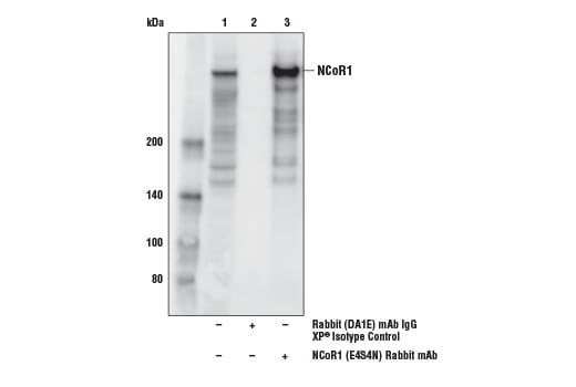 Immunoprecipitation of NCoR1 from Jurkat cell extracts. Lane 1 is 10% input, lane 2 is Rabbit (DA1E) mAb IgG XP<sup>®</sup> Isotype Control #3900, and lane 3 is NCoR1 (E4N4S) Rabbit mAb. Western blot analysis was performed using NCoR1 (E4N4S) Rabbit mAb.