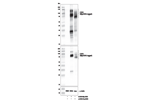 Western Blotting Image 2: TNFRSF8/CD30 (E4L4I) XP® Rabbit mAb