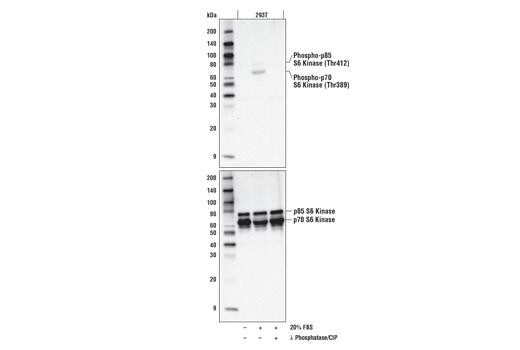 Monoclonal Antibody - Phospho-p70 S6 Kinase (Thr389) (D5U1O) Rabbit mAb, UniProt ID P23443, Entrez ID 6198 #97596 - Primary Antibodies