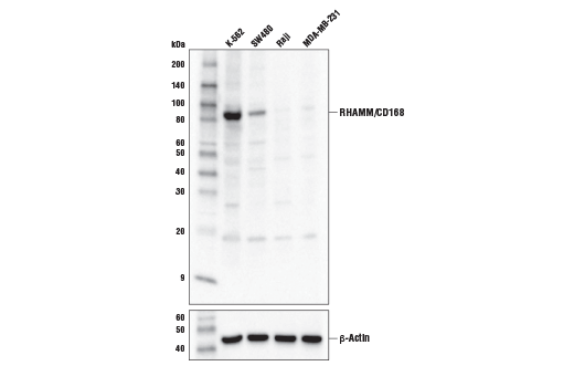 Polyclonal Antibody Immunoprecipitation Hyaluronan Metabolic Process - count 6