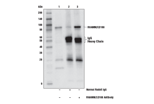 Immunoprecipitation of RHAMM/CD168 from K-562 cell extracts. Lane 1 is 10% input, lane 2 is Normal Rabbit IgG #2729, and lane 3 is RHAMM/CD168 Antibody. Western blot analysis was performed using RHAMM/CD168 Antibody. Anti-Rabbit IgG, HRP-linked Antibody #7074 was used as the secondary antibody.