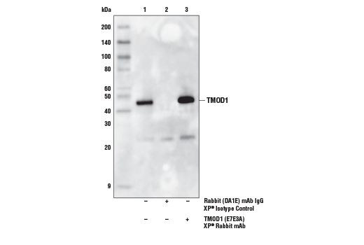Immunoprecipitation of TMOD1 from SH-SY5Y cell extracts. Lane 1 is 10% input, lane 2 is Rabbit (DA1E) mAb IgG XP<sup>®</sup> Isotype Control #3900, and lane 3 is TMOD1 (E7E3A) XP<sup>®</sup> Rabbit mAb. Western blot analysis was performed using TMOD1 (E7E3A) XP<sup>®</sup> Rabbit mAb. Mouse Anti-rabbit IgG (Conformation specific)(L27A9) mAb (HRP Conjugate) #5127 was used as the secondary antibody.