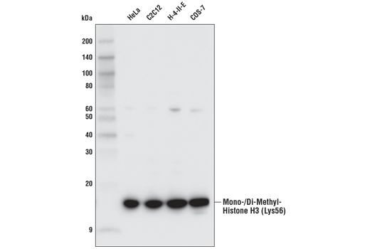 Monoclonal Antibody - Mono/Di-Methyl Histone H3 (Lys56) (D4L7L) Rabbit mAb, UniProt ID P68431, Entrez ID 8350 #95191 - Chromatin Regulation / Nuclear Function
