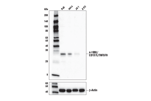 Human Positive Regulation of Cytotoxic t Cell Differentiation