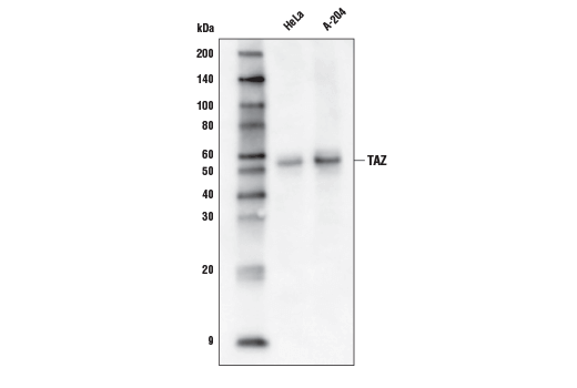 Western blot analysis of extracts from HeLa and A-204 cells using TAZ (D3I6D) Rabbit mAb (Biotinylated).