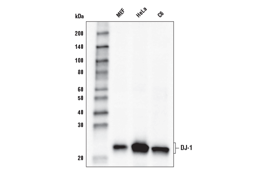 Western blot analysis of extracts from MEF, HeLa, and C6 cells using DJ-1 (D29E5) XP<sup>®</sup> Rabbit mAb (HRP Conjugate).
