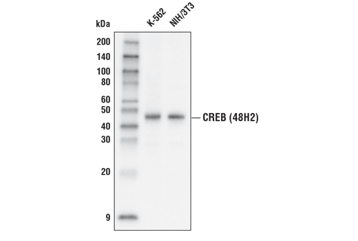 Western blot analysis of extracts from K-562 and NIH/3T3 cells using CREB (48H2) Rabbit mAb (HRP Conjugate).