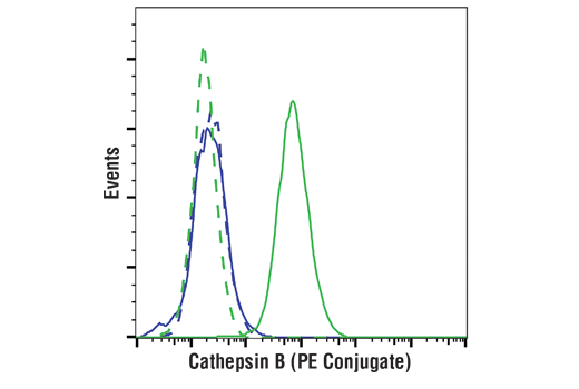 Flow cytometric analysis of Daudi cells (blue) and SK-MEL-28 cells (green) using Cathepsin B (D1C7Y) XP® Rabbit mAb (PE Conjugate) (solid lines) or a concentration matched Rabbit (DA1E) mAb IgG XP<sup>®</sup> Isotype Control (PE Conjugate) #5742 (dashed lines).