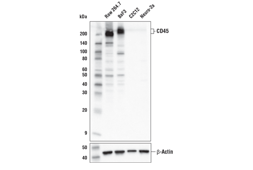 Monoclonal Antibody Western Blotting Immunoglobulin Biosynthetic Process