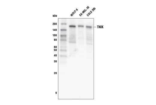 Western blot analysis of extracts from MOLP-8, SK-MEL-28, and COLO 205 cells using TNIK Antibody.