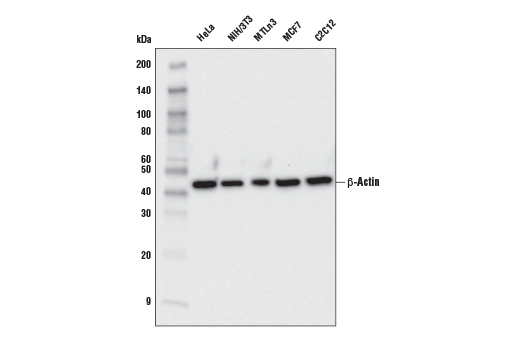 Western blot analysis of extracts from various cell lines using β-Actin (E4D9Z) Mouse mAb.
