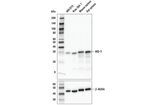 Western blot analysis of extracts from various cell lines and tissues using HO-1 (E6Z5G) Rabbit mAb (upper) or β-Actin (D6A8) Rabbit mAb #8457 (lower).