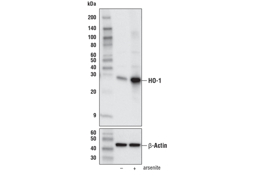 Western blot analysis of extracts from NIH/3T3 cells, untreated (-) or treated (+) with arsenite (50 μM, 8 hr), using HO-1 (E6Z5G) Rabbit mAb (upper) or β-Actin (D6A8) Rabbit mAb #8457 (lower).