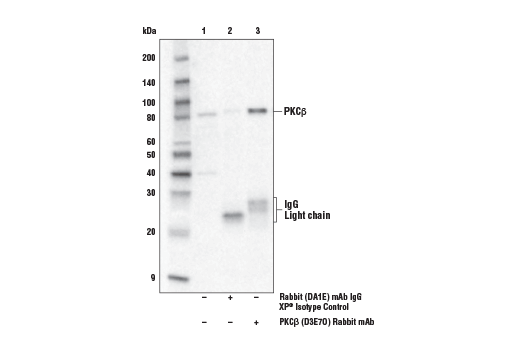 Immunoprecipitation of PKCβ from K-562 cell extracts. Lane 1 is 10% input, lane 2 is Rabbit (DA1E) mAb IgG XP<sup>®</sup> Isotype Control #3900, and lane 3 is PKCβ (D3E7O) Rabbit mAb. Mouse Anti-rabbit IgG (Light-Chain Specific) (D4W3E) mAb (HRP Conjugate) #93702 was used for detection.