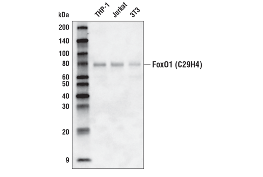 Western blot analysis of extracts from THP-1, Jurkat, and 3T3 cells using FoxO1 (C29H4) Rabbit mAb (Biotinylated).