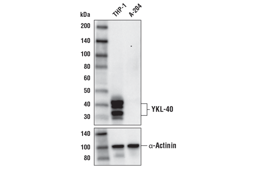 Western blot analysis of extracts from THP-1 and A-204 using YKL-40 (E2L1M) Rabbit mAb upper) and loading control α-Actinin (D6F6) XP<sup>®</sup> Rabbit mAb #6487. As expected, A-204 is low to negative for YKL-40 expression.