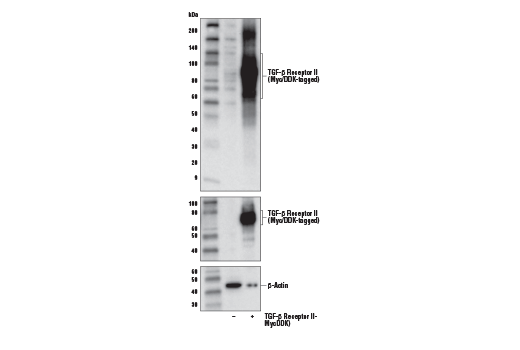 Mouse Tolerance Induction to Self Antigen - count 12