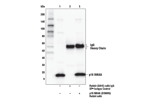 Immunoprecipitation of p16 INK4A from HeLa cells. Lane 1 is 10% input, lane 2 is Rabbit (DA1E) mAb IgG XP<sup>®</sup> Isotype Control #3900, and lane 3 is p16 INK4A (D3W8G) Rabbit mAb. Western blot was performed using p16 INK4A (D3W8G) Rabbit mAb. Anti-rabbit IgG, HRP-linked Antibody #7074 was used as the secondary antibody.