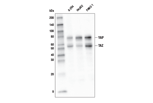 Western blot analysis of extracts from A-204, Hep G2, and PANC-1 cells using YAP/TAZ (D24E4) Rabbit mAb (HRP Conjugate).