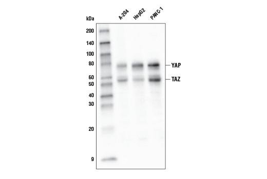 Monoclonal Antibody - YAP/TAZ (D24E4) Rabbit mAb (HRP Conjugate), UniProt ID P46937, Entrez ID 10413 #28287 - #28287