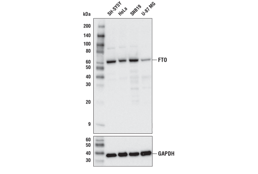 Western blot analysis of extracts from various cell lines using FTO (D6Z8W) Rabbit mAb (upper) or GAPDH (D16H11) XP<sup>® </sup>Rabbit mAb #5174 (lower).