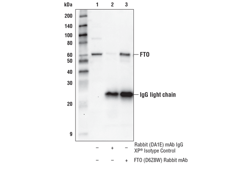 Monoclonal Antibody - FTO (D6Z8W) Rabbit mAb - Immunoprecipitation, Western Blotting, UniProt ID Q9C0B1, Entrez ID 79068 #31687