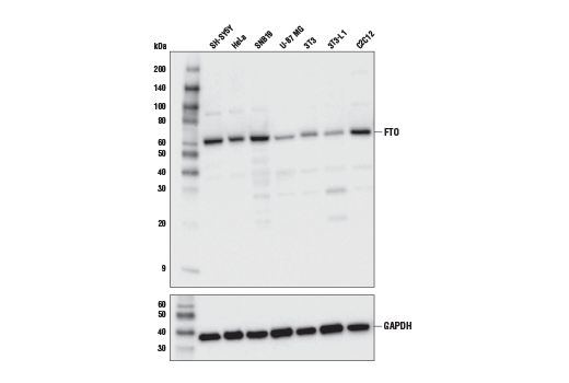 Western blot analysis of extracts from various cell lines using FTO (D2V1I) Rabbit mAb (upper) or GAPDH (D16H11) XP<sup>® </sup>Rabbit mAb #5174 (lower).
