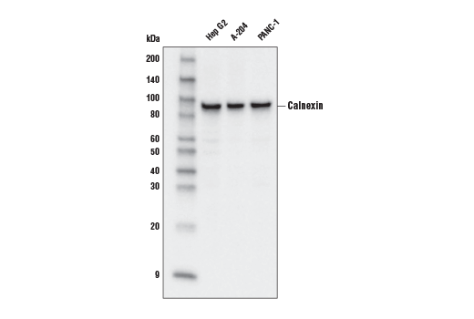 Western blot analysis of extracts from Hep G2, A-204, PANC-1 cells using Calnexin (C5C9) Rabbit mAb (HRP Conjugate).