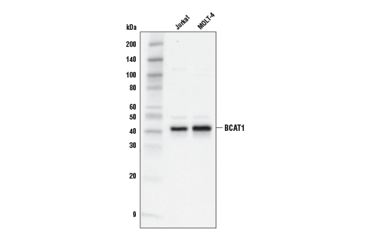 Monoclonal Antibody Branched-Chain-Amino-Acid Transaminase Activity