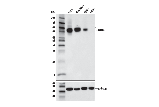 Western blot analysis of extracts from various cell lines using CD44 (E7K2Y) XP<sup>®</sup> Rabbit mAb (upper), and β-Actin (D6A8) Rabbit mAb #8457 (lower).