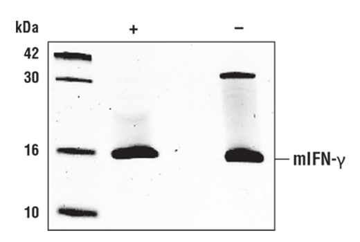 The purity of recombinant mIFN-γ was determined by SDS-PAGE of 1 µg reduced (+) and non-reduced (-) recombinant mIFN-γ and staining overnight with Coomassie Blue.