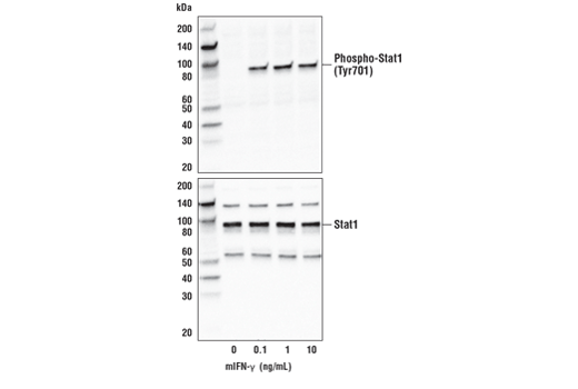 Western blot analysis of extracts from L-929 cells, untreated or treated with mIFN-γ for 20 minutes, using Phospho-Stat1 (Tyr701) (D4A7) Rabbit mAb #7649 (upper) and Stat1 Antibody #9172 (lower).